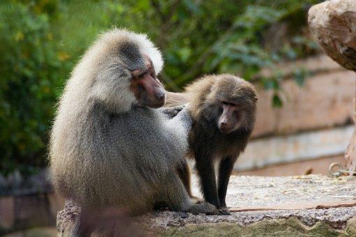 Hamadryas Baboon, Primate, Fur, Monkey, Animals, Zoo