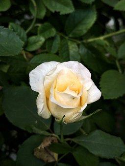 Rose, Nature, Flower, Tender, White, Yellow, Gradient