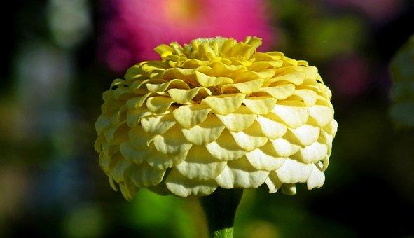 Flower, Zinnia, Clear, Macro, Nature, Garden, Blooming