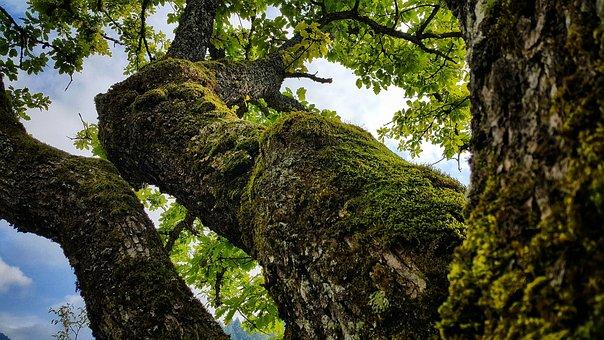 Oak Tree, Nature, Bosnia And Herzegovina