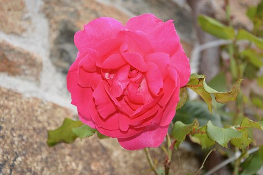Pink Flower, Rosebush, Garden, Nature, Romantic, Offer