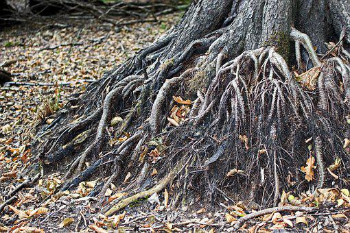 Old Tree, Root, Tree Roots, Nature, Forest, Old, Tribe