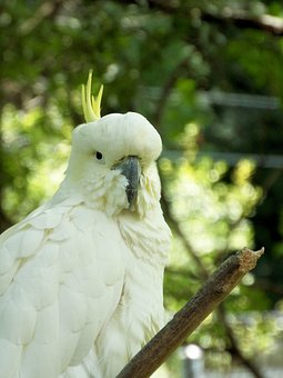 Cockatiel, Bird, White, Nature, Parrot, Animals