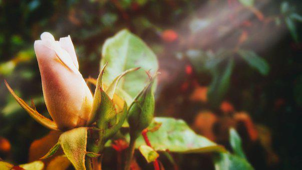 Rose, Bloom, Bud, Budding, Petals, Leaves, Sunlight