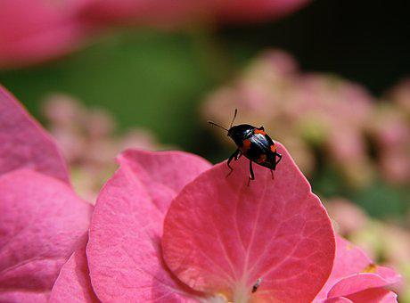 Insect, Beetle, Four Blotchy Kahnkäfer, Pink, Points