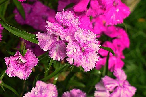 Purple, Pink, Flowers, Water Droplets