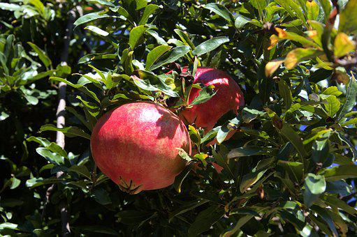 Pomegranate, Plant, Fruit, Health