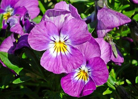 Flowers, Pansies, Garden, Spring, Nature, Violet, Plant