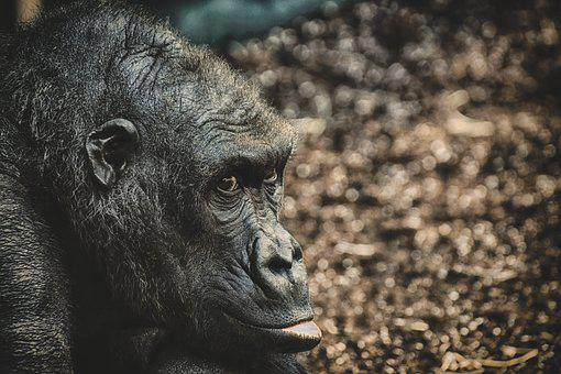 Gorilla, Monkey, Animal, Furry, Omnivore, Portrait