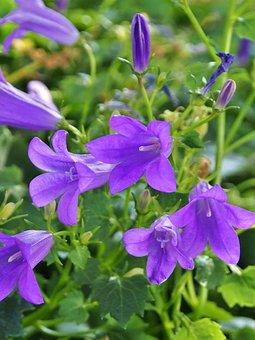Bluebells, Purple, Flowers, Garden, Violet