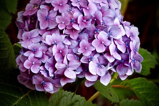 Hydrangea, Purple, Pink, Flower, Bloom, Blue, Blossom