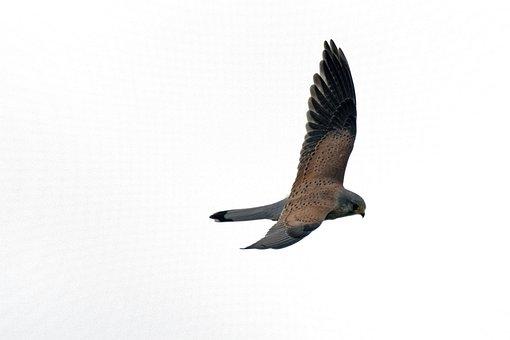 Kestrel, Falcon, Terzel, Raptors