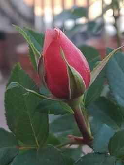 Rose, Bud, Country House, Red, Flower