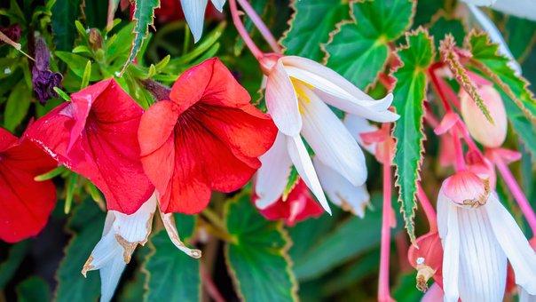 Redrose, Flower, Rose, Bloom, Blossom, Nature, Romantic