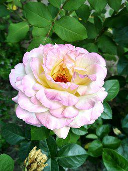Rose, Nature, Flower, Tender, Luxury, Pink, White