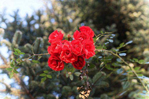 Roses, Red, Flowers, Late Autumn, Romantic, Love