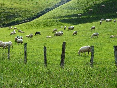 Prado, Prairie, Flock, Sheep, Pacer, Pasture