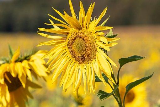 Sunflower, Sun, Blossom, Bloom, Summer, Late Summer