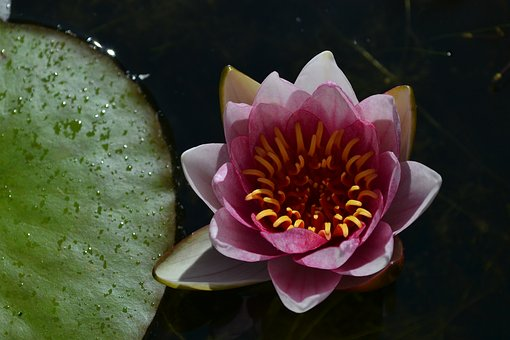Water Lily, Pink, Te, Pond, Nature, Aquatic Plant