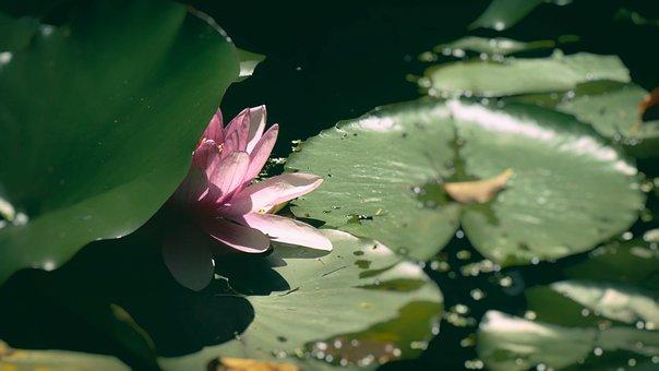 Waterlily, Pink, Flower, Lotus, Lily, Pond, Bloom