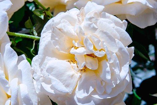 Flower, White, Bloom, Plant, Blossom, Spring, Summer