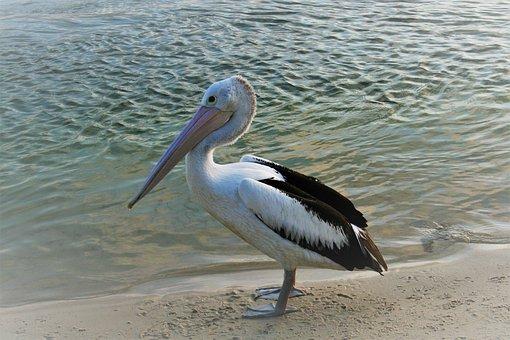 Pelican, Bird, Beach, Water, Nature, Wildlife, Sand