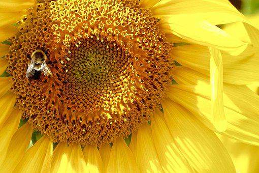 Sunflower, Bee, Bumblebee, Bloom, Yellow, Flower