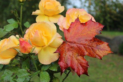 Roses, Autumn, Maple Leaf, Amber Queen, October