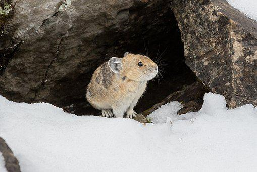 Pika, Rodent, Mammal, Animal, Animal World, Nature