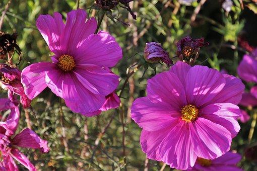 Flower, Kosmea, Kosmee, Pink, Space, Autumn, Garden