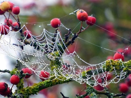 Berries, Red, Wild, Canvas, Beads, Dew, Spider, Fall
