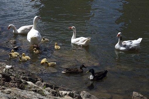 Ducks, Litter, River, Fauna, Birds, Nature, Plumage