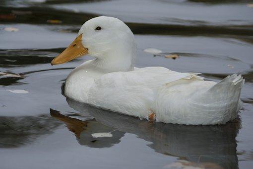 Duck, White, Plumage, Birds, Fauna, Pond, Swim