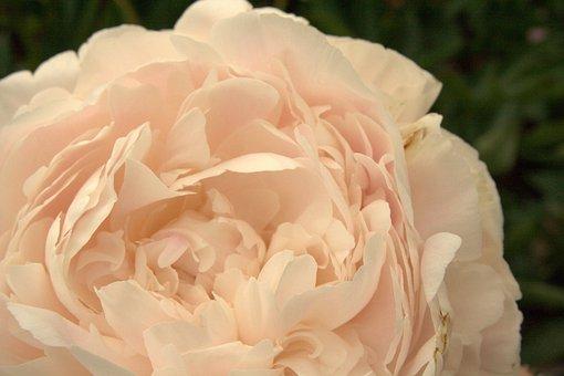 Rose, Light Pink, Flower, Blossom, Bloom, Rosebush