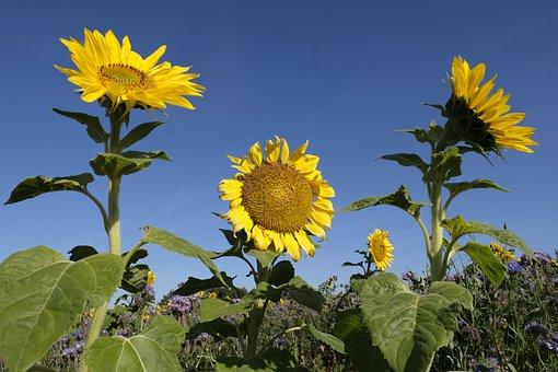 Sunflower, Flower, Summer, Autumn, Blossom, Bloom