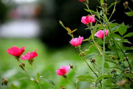 Rose, Flowers, Nature, Bloom, Blossom, Romantic, Love