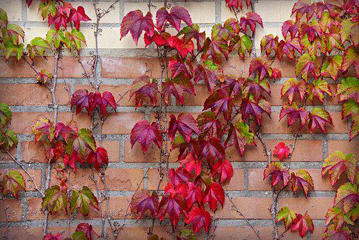 Ivy, Leaf, Autumn Color, Brick Wall, Growth, Decorative