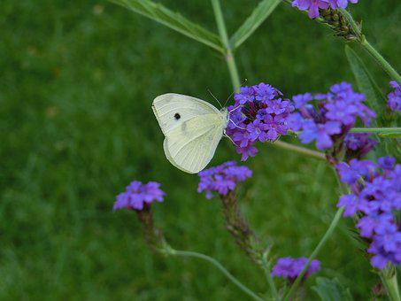 Butterfly, White Ling, Blossom, Bloom, Butterflies