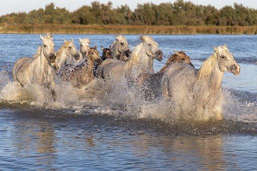 Horses, Cavalcade, Ride, Saintes-maries-de-la-mer, Mane