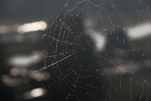 Spider Web, Drops, Rosa, Beads, Dewdrop, Morning, Wet