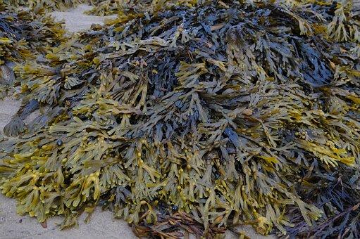 Sea Grass, Seaweed, Ebb, North Sea, Nature, Ocean