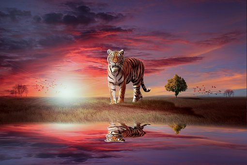 Tiger, Wild, Feline, Cat, Stripes, Reflection, Water