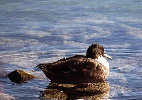 Mallard, Duck, Water Bird, Animal, Animal World, Female