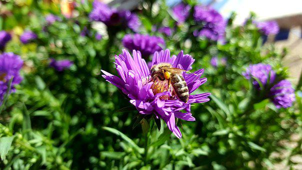Autumn, Nature, Bee, Insect, Flower, Pollen, Honey