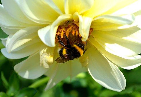 Dahlia, Flower, Summer, Garden, Plant, Bloom, Petals