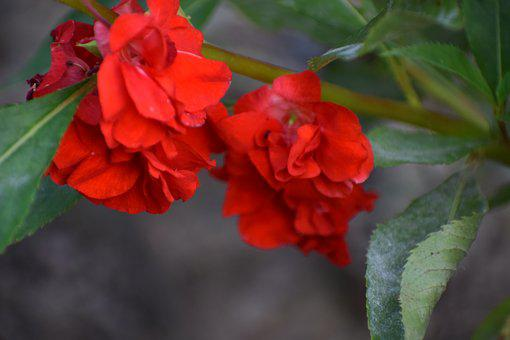 Flowers, Red, Nature, Bloom, Blossom, Plant, Petals