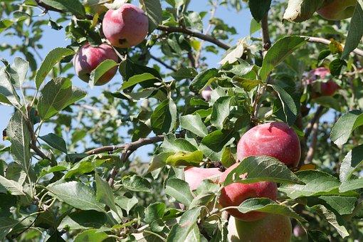 Apple Tree, Fruit, Crabapple Tree, Harvest, The Harvest