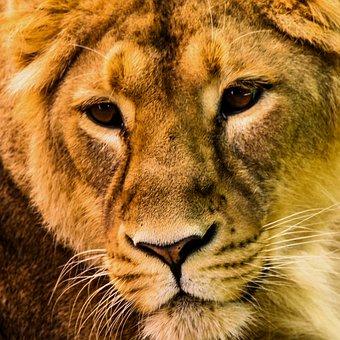 Animal, Predator, Lion, Animal Portrait, Eyes, Head