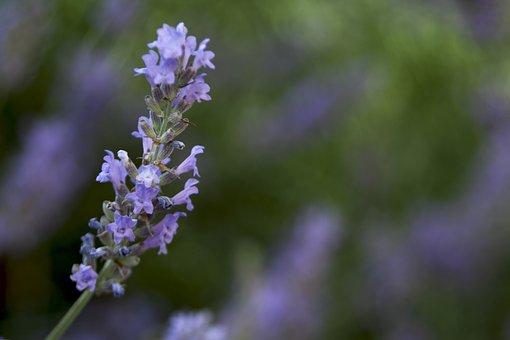 Flower, Lavender, Nature, Plant, Violet, Flora