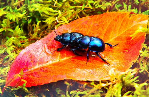 Beetles Forest, Insects, Leaf, Moss, Autumn